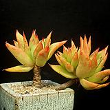 묵은 긴잎적성-4두(11.16)|Echeveria agavoides Akaihosi