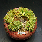 묵은 샤치철화(11.16)|Agavoides f.cristata Echeveria