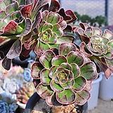 달마법사(자연군생)11-877|Eonium arboreum var. rubrolineatum