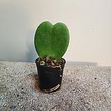 한촉 청하트 호야 식재품 23|Hoya carnosa