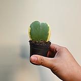 한촉 무늬하트호야 식재품 23|Hoya carnosa