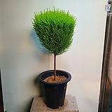 율마 외목대 향나는 나무 299|
