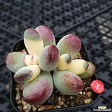 방울복랑계절성금|Cotyledon orbiculata cv
