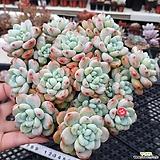 다복한 핑크라울 자연|Sedum Clavatum