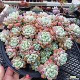 핑크라울  자연 대품|Sedum Clavatum