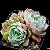 온슬로우 20-175|Echeveria cv  Onslow