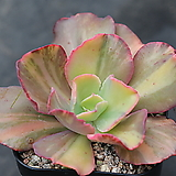 캉캉금|Echeveria can can