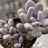홍미인 군생 3-2273|Pachyphytum ovefeum cv. momobijin