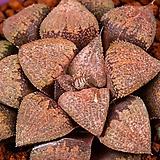 적계 픽타 실생(赤系 picta 實生)-10-17-No.231|Haworthia picta