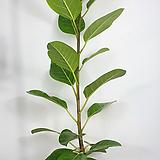 뱅갈고무나무 고무나무 뱅갈 외목대 사진동일상품발송|Ficus elastica
