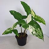 무늬싱고니움 싱고니움 수입식물 사진동일상품발송|