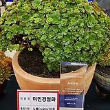 에오니움 미인경철화 특대품(제4회 다육식물 박람회 최우수상 수상작)|Aeonium canariense