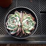 치와와린제 자연2두|Echeveria chihuahuaensis
