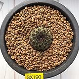 라우치-190 (실생.W:2.5cm) Sulcorebutia rauschii
