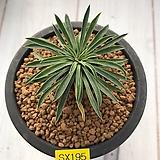 괴마옥-195 (자구.W:3.4cm) Euphorbia hypogaea