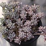 블루빈스 군생 2-7052|Graptopetalum pachyphyllum Bluebean