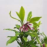 천리향/공기정화식물/반려식물/온누리 꽃농원|
