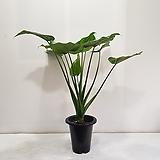 잎알로카시아/공기정화식물/반려식물/온누리 꽃농원|Alocasia