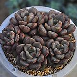 홍포도(U029) Graptoveria Ametum