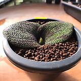 마쏘니아-199 (실생,W:10.5cm) 