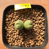 마기나툼-210(실생, W:2.2cm) 