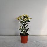 산반호랑가시/공기정화식물/반려식물/온누리 꽃농원|