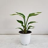 극락조 2촉/공기정화식물/반려식물/온누리 꽃농원|