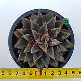 수형이멋진 모노케로티스/g32|Echeveria Monocerotis