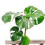 [무료배송]몬스테라 인테리어식물 실내식물|