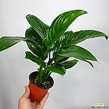 센세이션스파트필름 스파트 스파트필름 공기정화식물|