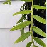 로디게시(Dendrobiumloddigesii)