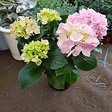 수국 대 0077번 신상품 꽃대풍성 합니다|Hydrangea macrophylla