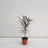 아라리오/공기정화식물/반려식물/온누리 꽃농원|