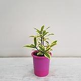 황금무늬천리향/공기정화식물/반려식물/온누리 꽃농원|