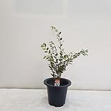 호주애기동백/공기정화식물/반려식물/온누리 꽃농원|