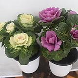 잎모란(2개1set)|Echeveria cv Beniothine