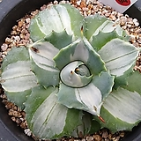 Agave potatoum(scolymum)