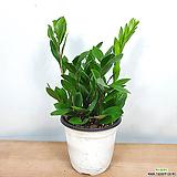 머니트리 금전수 돈나무 공기정화식물|Zamioculcas zamiifolia