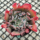 Echeveria cv Pinky