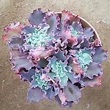 환상적으로  물든 홍학 대품|Echeveria Beninoturu(JAPAN hyb)