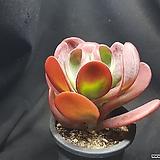 Kalanchoe thysifolia