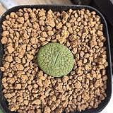 리톱스 후커리 안나로사-243(W:1.8cm) Lithops