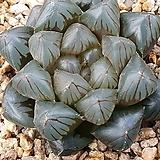 환엽수정옵투사|Haworthia cymbiformis var. obtusa