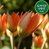 원종 휘탈리 튤립 구근 식물 키우기 튤립 씨앗 심기 꽃모종 야생화|