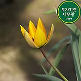 원종 오르파니데 아플라바 튤립 구근 식물 키우기 튤립 씨앗 심기 꽃모종 야생화|