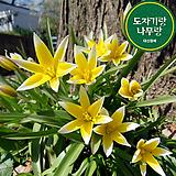 리틀스타 튤립 구근 식물 키우기 튤립 씨앗 심기 꽃모종 야생화|