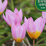 원종 바케리라일락 튤립 구근 식물 키우기 튤립 씨앗 심기 꽃모종 야생화|