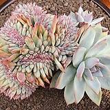 야생콜로라타철화|Echeveria colorata