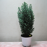 네덜란드 편백나무,스노우 화이트2720-노지월동,동일품배송