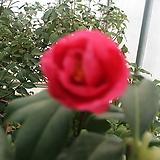 동백(대륜 선홍색)|